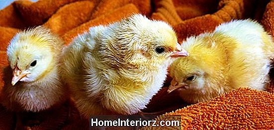 Chicken Brooder: Eine Definition