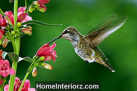 Wann ist Hummingbird Migration?