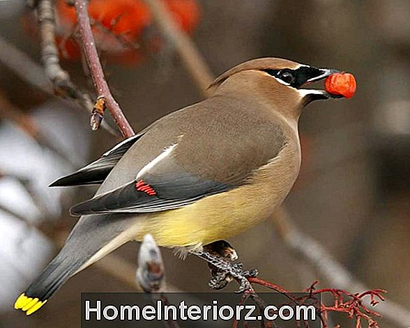 Cedar Waxwing Identification