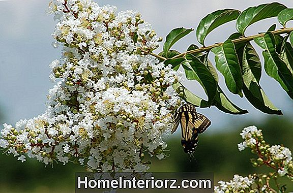 Kasvav Natchez Crepe Myrtles: Care, Pruning Tips