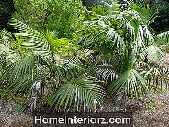 Kentia Palms - Growing Howeia sugas