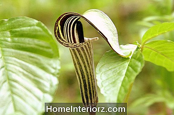 Jack-in-the-Pulpit tehas