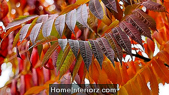 Pianta Sumac Trees for Fall Foliage