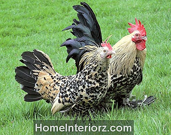 Races de poulet: Orpington ou Buff Orpington