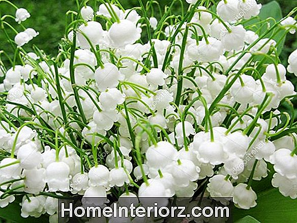 Lily of the Valley Fleurs