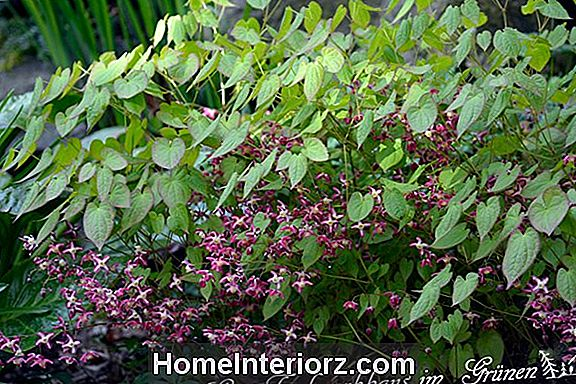 Rose Queen Epimedium: Plante lunatique pleine ombre