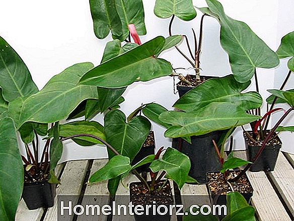 Culture de Phildendron Erubescens Indoor