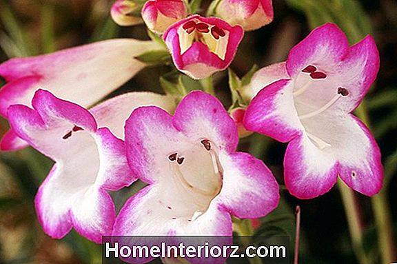 Penstemon Care, Growing the Beardtongue Flower