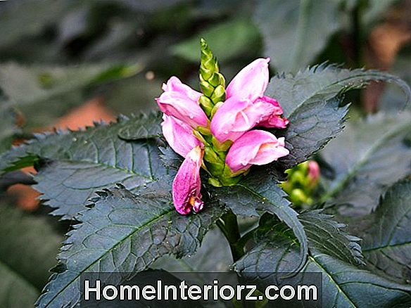 Chelone - Growing the Late Blooming Turtlehead.