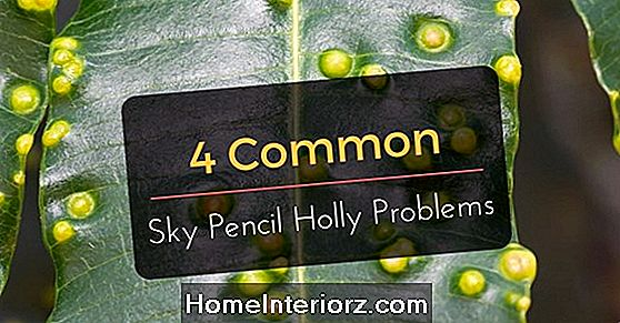 Sky Pencil Holly