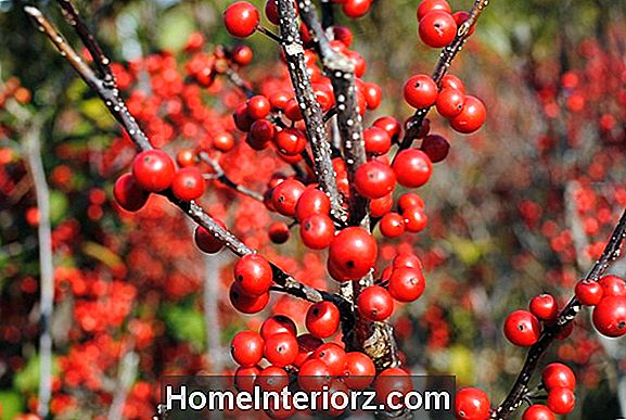 Winterberry Holly Shrubs