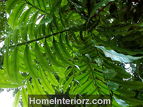 Filicium decipiens - Growing Japanese Tree Ferns