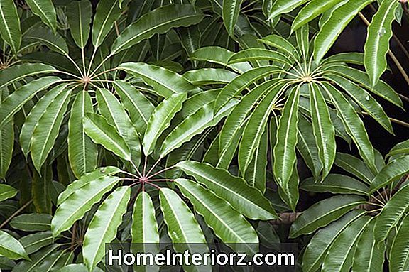 Growing Schefflera Plants Inside
