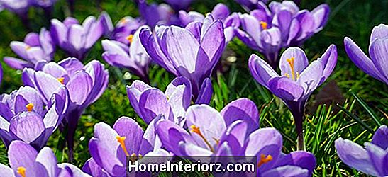 Come coltivare i bulbi di Crocus (Corms)