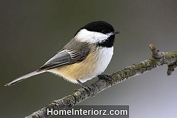Black Chapped Chickadee