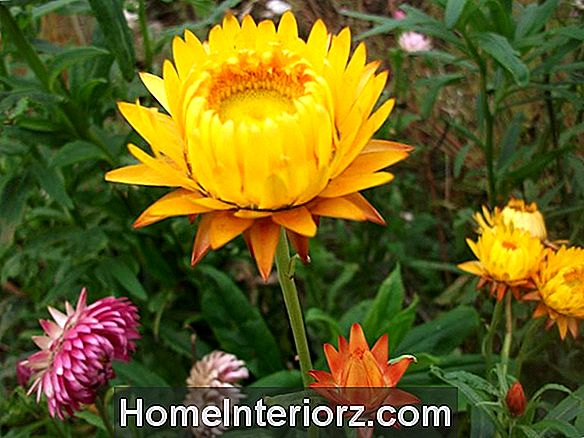 Everlasting Strawflower