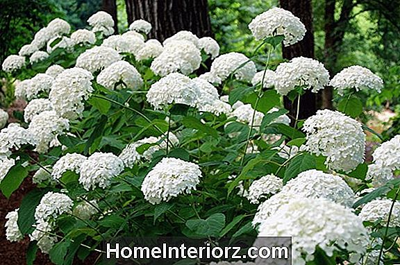 Incrediball Hydrangeas