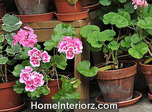 Growing Geraniums konteineros
