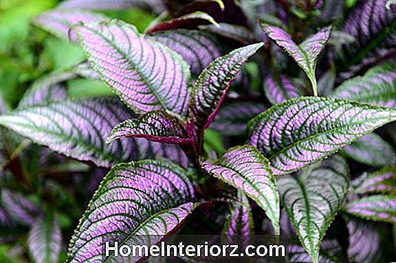 Persian Shield - Growing Strobilanthes Inside