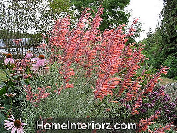 Sunset Hyssop Growing Tips