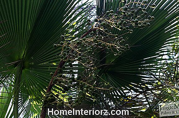 Solitaire Palm - Growing Solitaire Palms Indoors