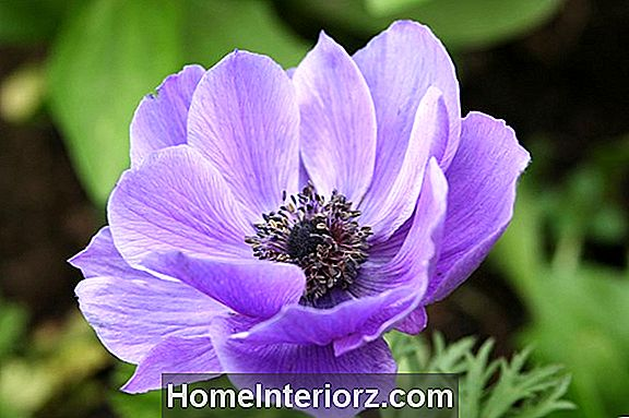 Anemone Flowers for Spring and Fall Gardens