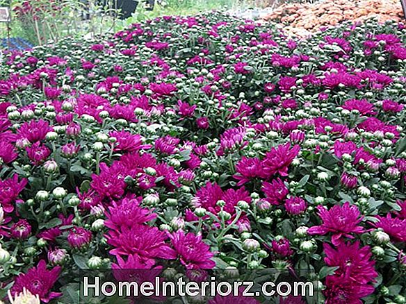 Fall Garden Mums. Hard of niet?