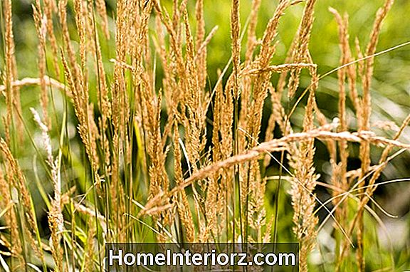 Feather Reed Grass (Calamagrostis x acutiflora)