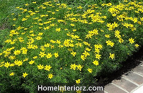 Moonbeam Coreopsis Flowers