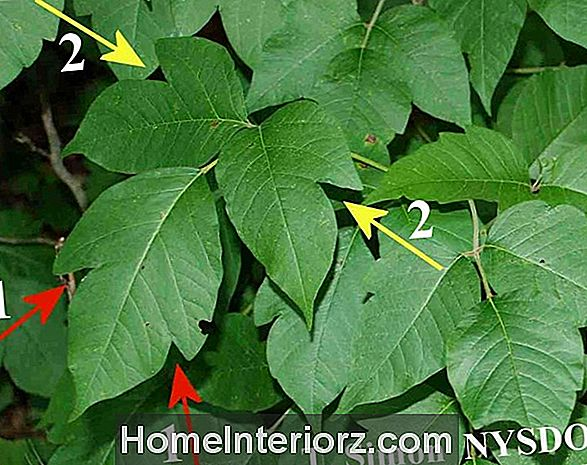 Vine Leaf Maple Growing Profile