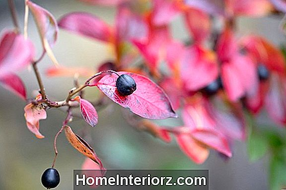 Black Chokeberry Growing Profile