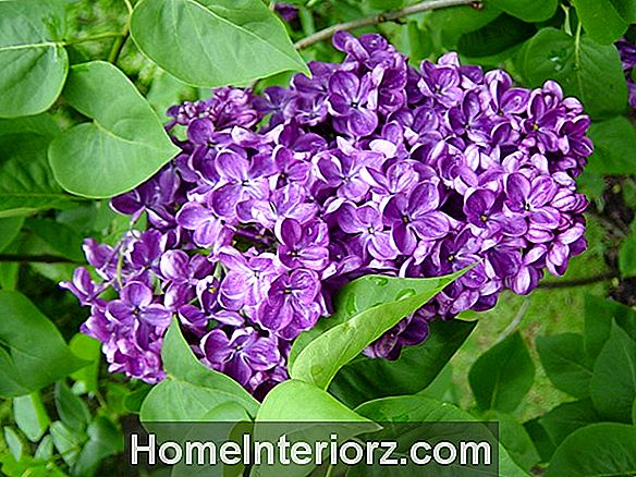 Lilac Bush Growing Tips