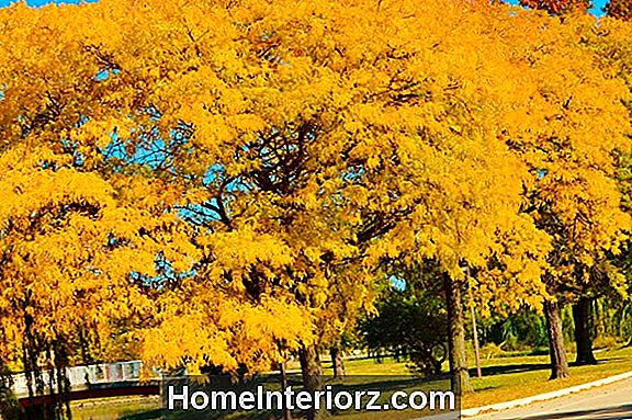 Sunburst Honey Locust Trees