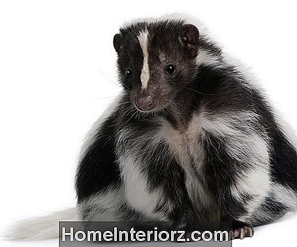 Skunk Control and Prevention