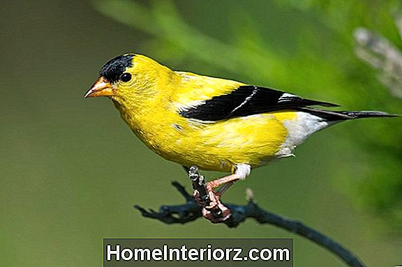American Goldfinch Identification