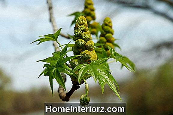 American Sweetgum Trees, inklusive icke-Fruity Type