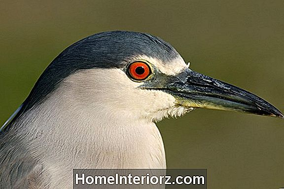 Black-Crowned Night-Heron Identification