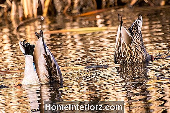 Dabbling Duck Definition