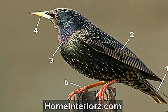 European Starling Identification
