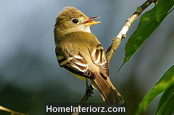 Flycatcher Identification Tips