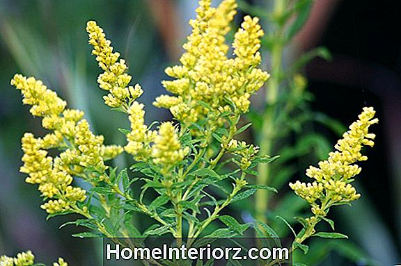 Goldenrod Ugress