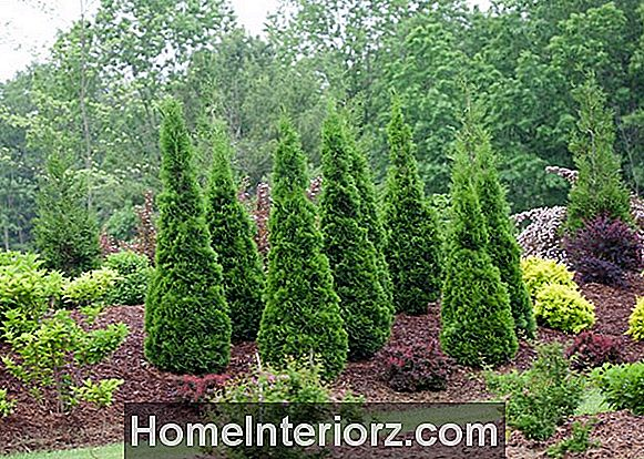 North Pole Arborvitae: Bra Street Tree, Hedge Plant