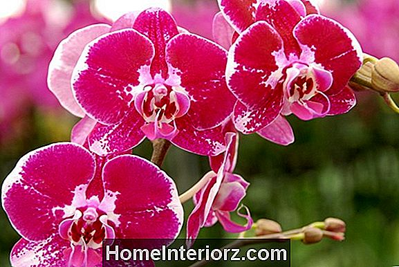 Reblooming Tips for Phalaenopsis Orchids