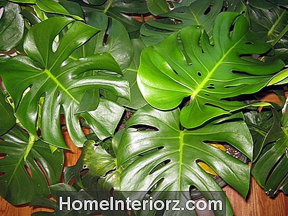 Swiss Cheese Plant - Hur man odlar Monstera Adansonii