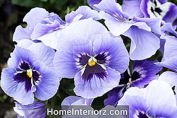 14 Pretty Pansy Varianter