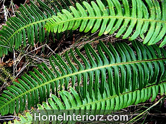 Blechnum: Growing Ribbed Ferns Indoors