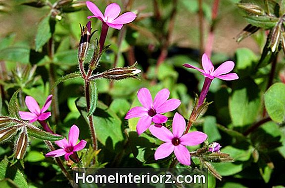 Phlox Stolonifera 'Home Fires': The Other Creeping Phlox