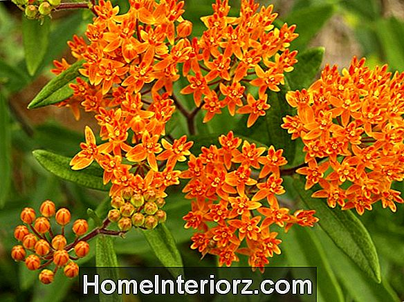 Plant Butterfly Weed for å tiltrekke Monarch, Swallowtail Butterflies
