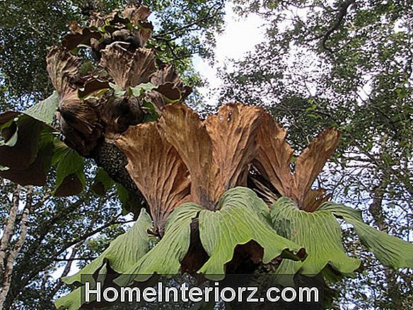 Staghorn Ferns - Growing Platycerium Species