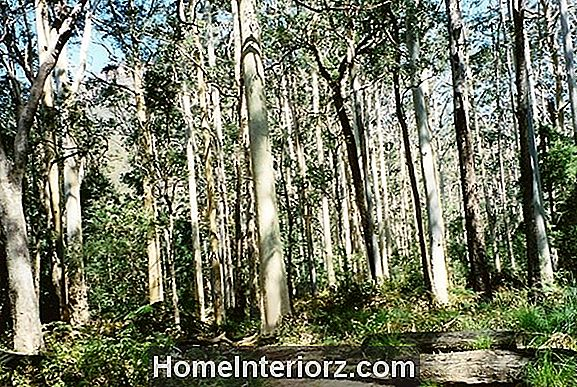 Black Gum Tree Growing Tips